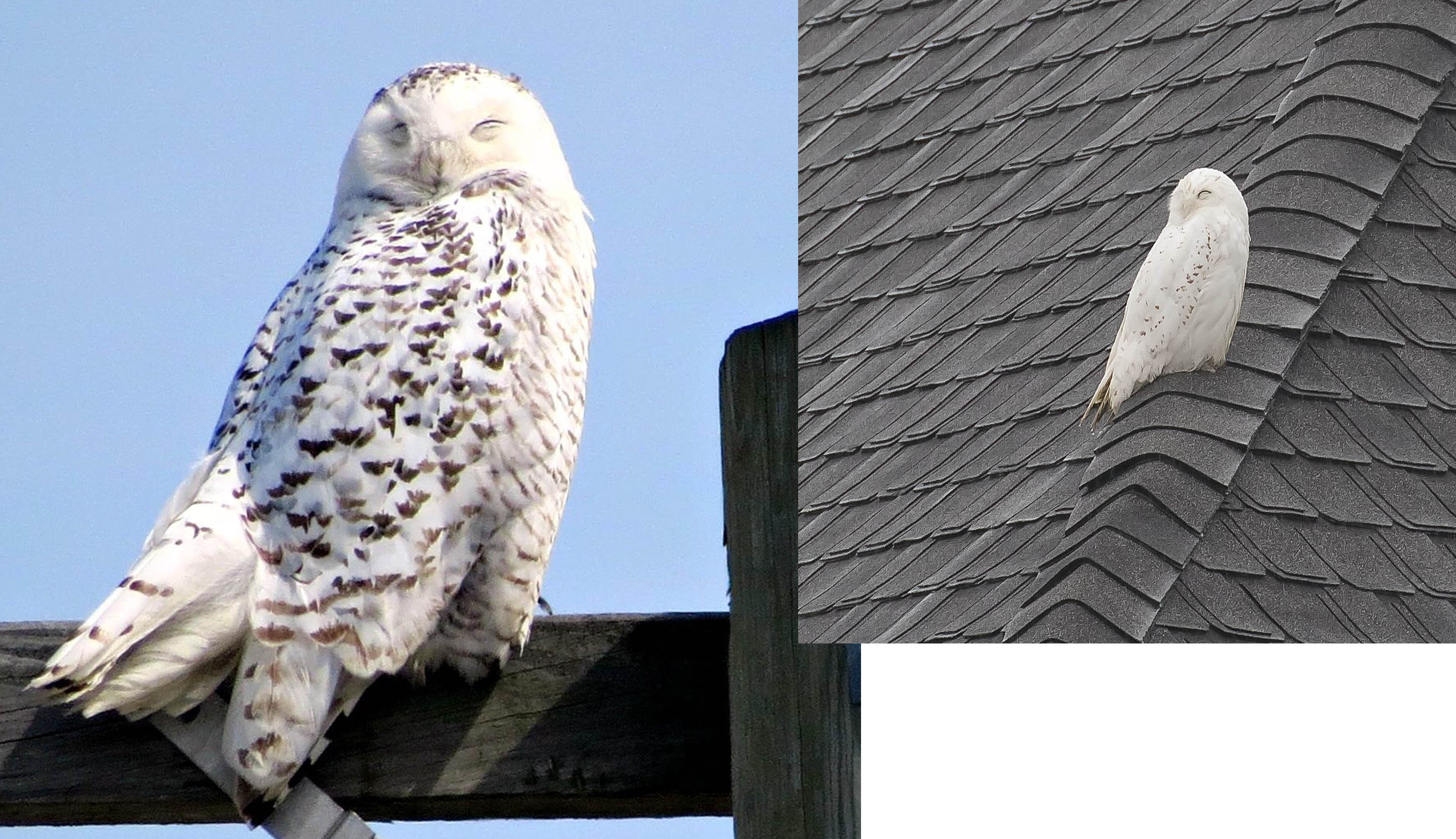 Two Snowy Owls