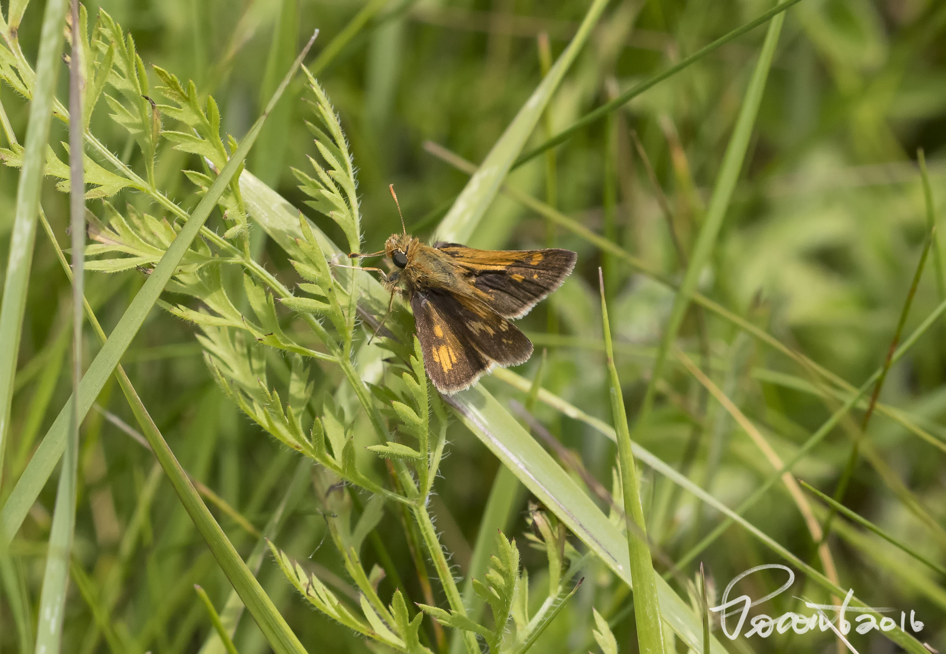 Pecks Skipper