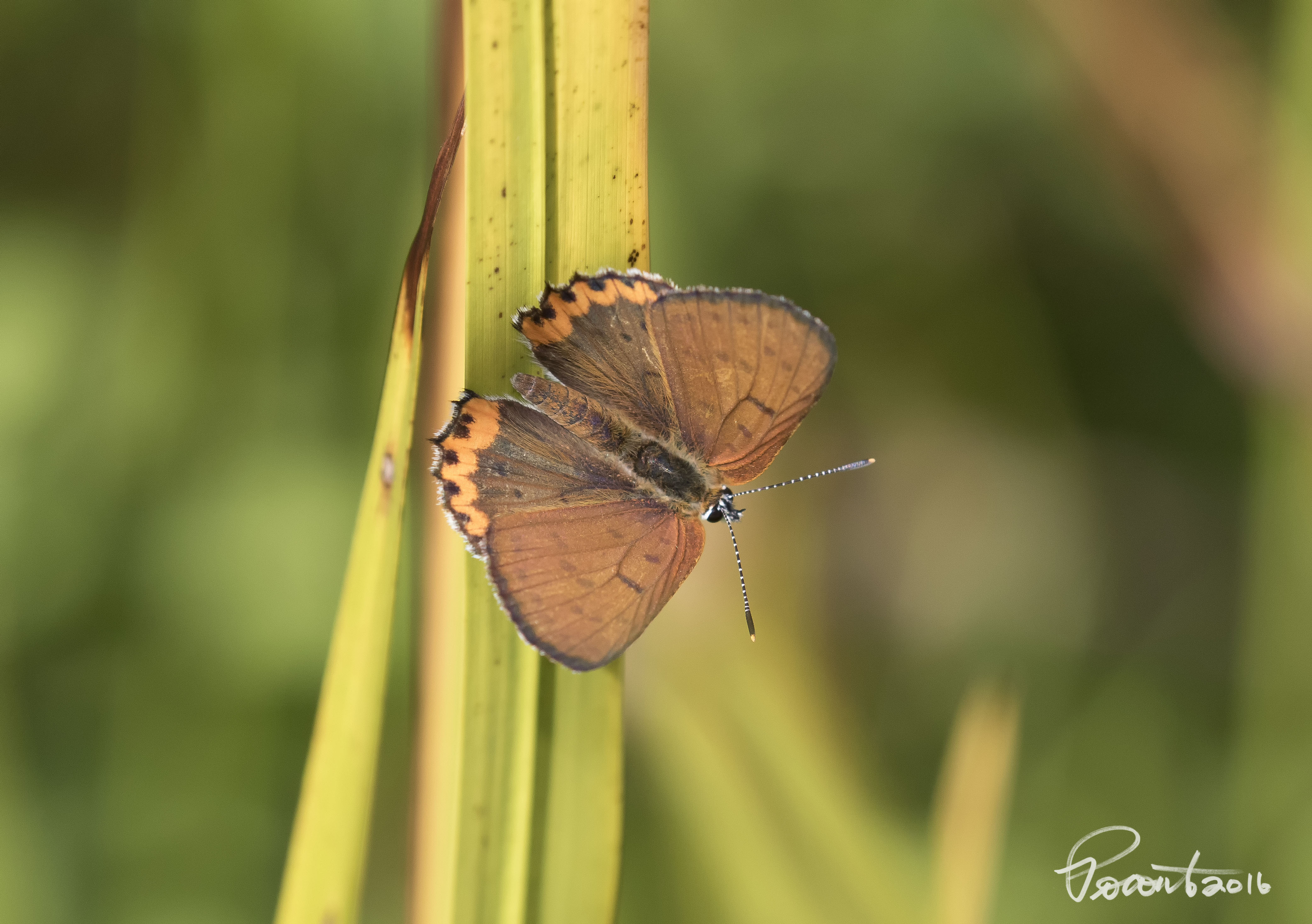 Poronto S Birding Macomb Township And Beyond Blog Best