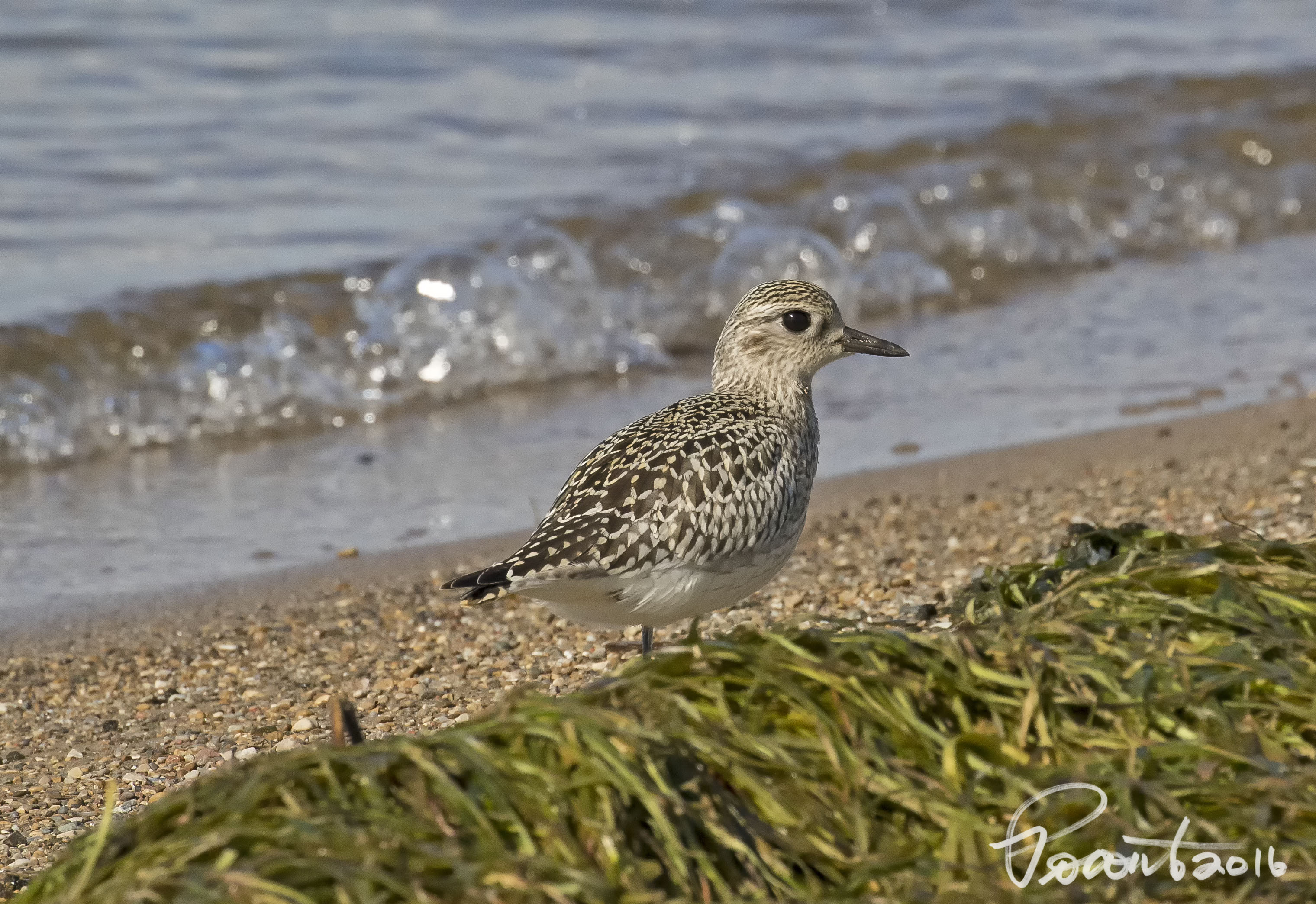 Black-bellied Plover non-breeding plumage.