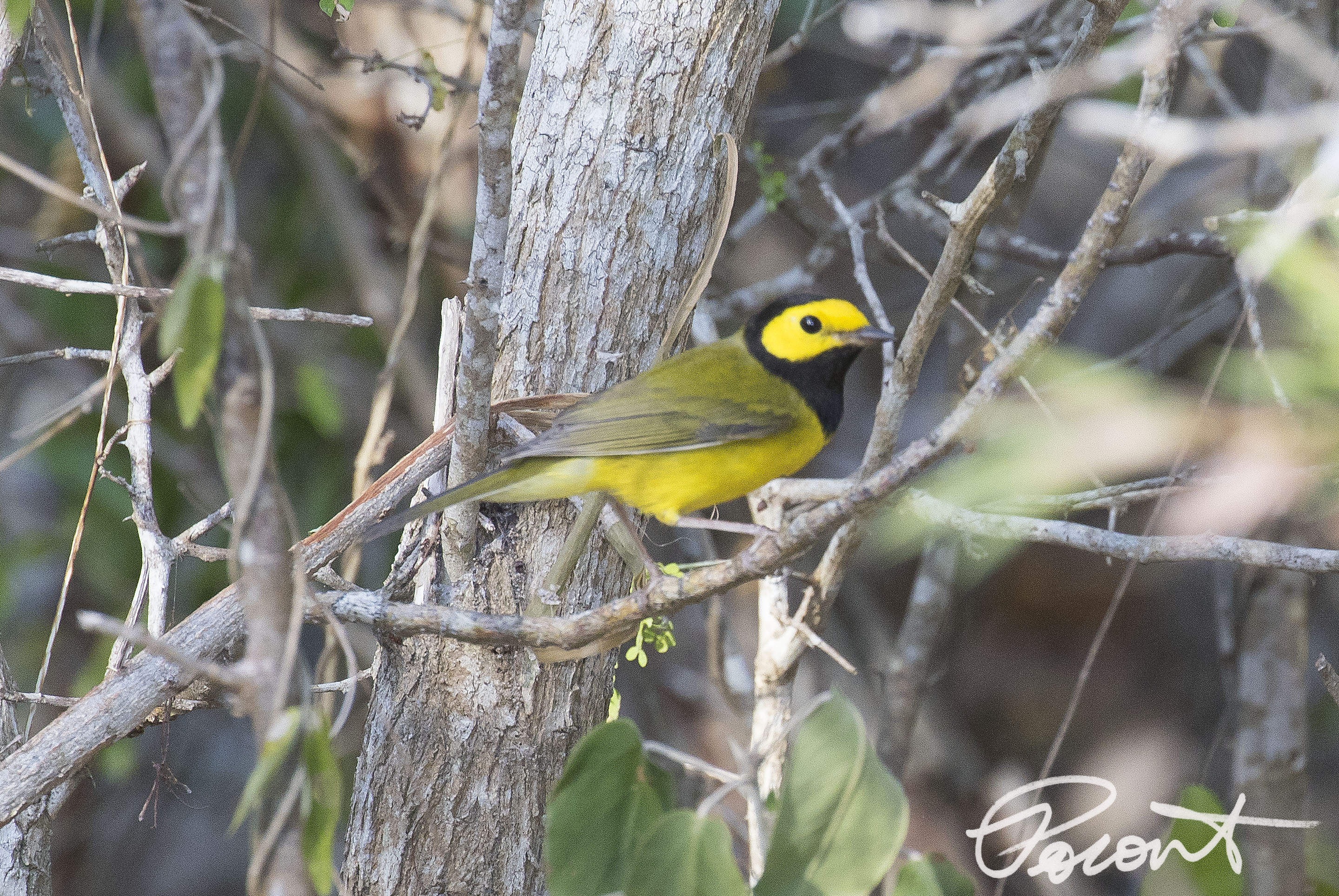 Hooded Warbler - soft image but only shot I could get of the several that I saw