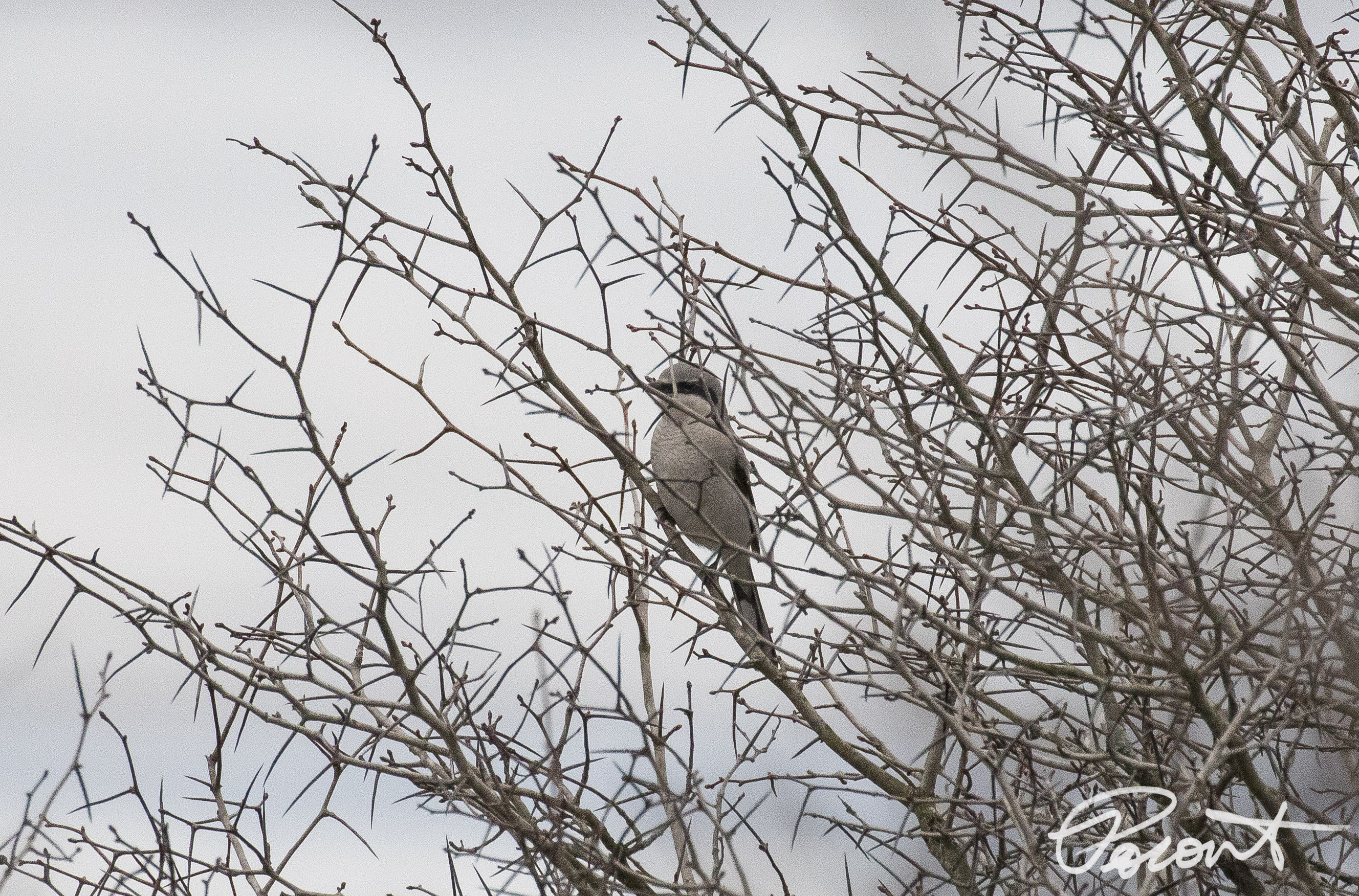 Northern Shrike at dusk