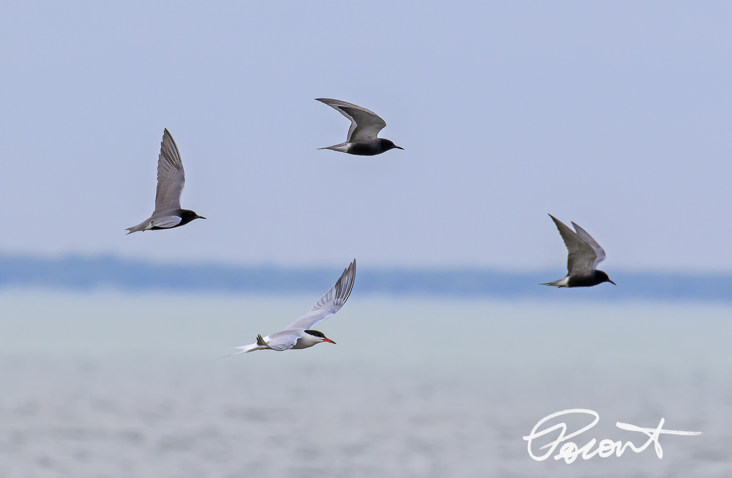 Black Terns and a Common Tern