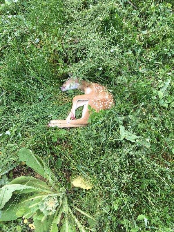 White-tailed Deer fawn. Victim of early mowing.